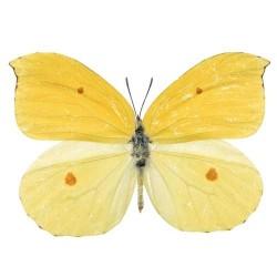 Художні стелі Метелики Butterfly 16