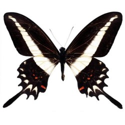 Художні стелі Метелики Butterfly 19