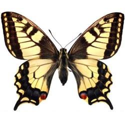 Художні стелі Метелики Butterfly 24